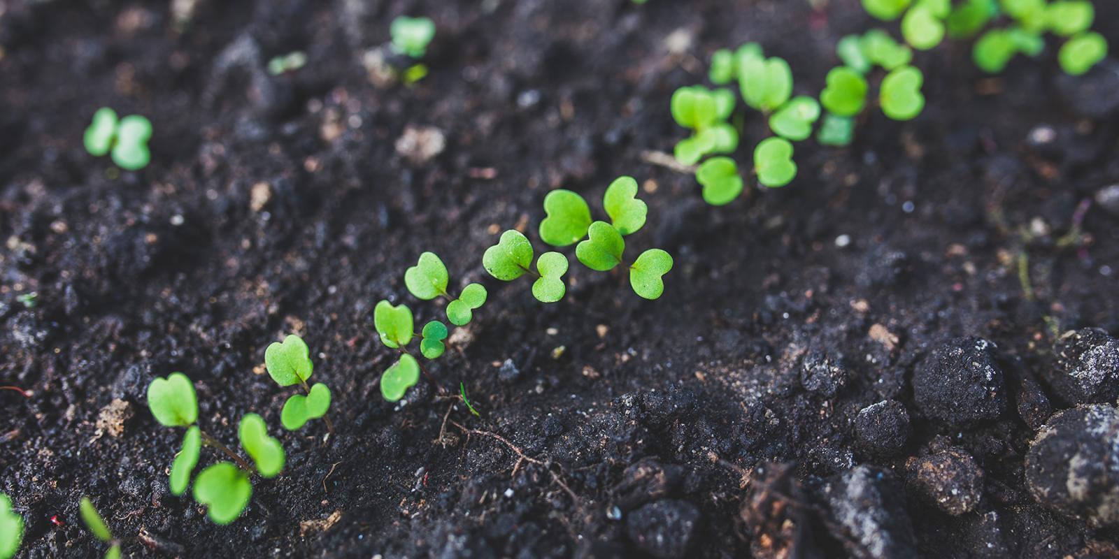 Гортензия из семян: выращивание, как посадить 26