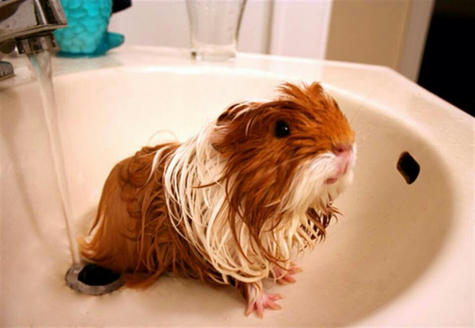 Although guinea pigs don t smell you can give them a bath if they re