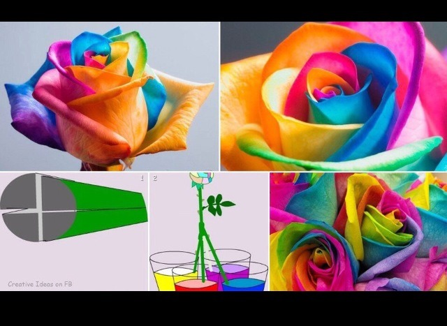 How to make rainbow roses musely for How to make a multicolored rose