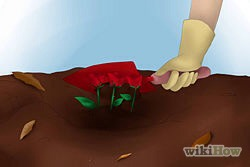 7)Carefully replace the soil between the spaces of the roses.