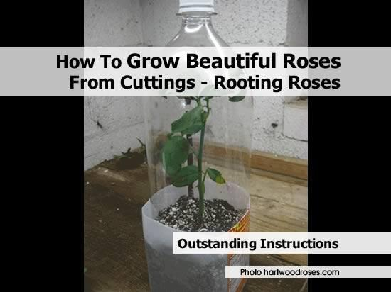 http://www.hartwoodroses.com/2011/Articles/rootingroses.php