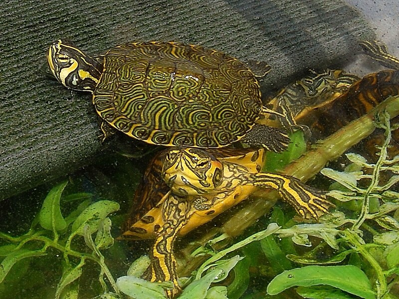 Yellow bellied slider turtle: They are the most common pet turtle. They don't bite and they are generally cheap. They live in the water. But be careful. They get big and pretty fast. I also own one of these 😊