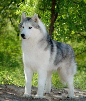 Husky- ok these are one of my favourites they are average shedding dogs that NEED a companion . They are loyal loving and will protect you and act as a guard dog they are caring and let's be honest kind of like a furry cuddly toy