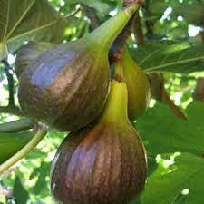 6. Figs. It takes about 1-2 to start bearing fruit from when they were planted. Figs are an easy-to-grow tree that loves a Mediterranean climate. Fortunately, for those many of us who do not have Mediterranean climates, many varieties of figs are highly adaptable.