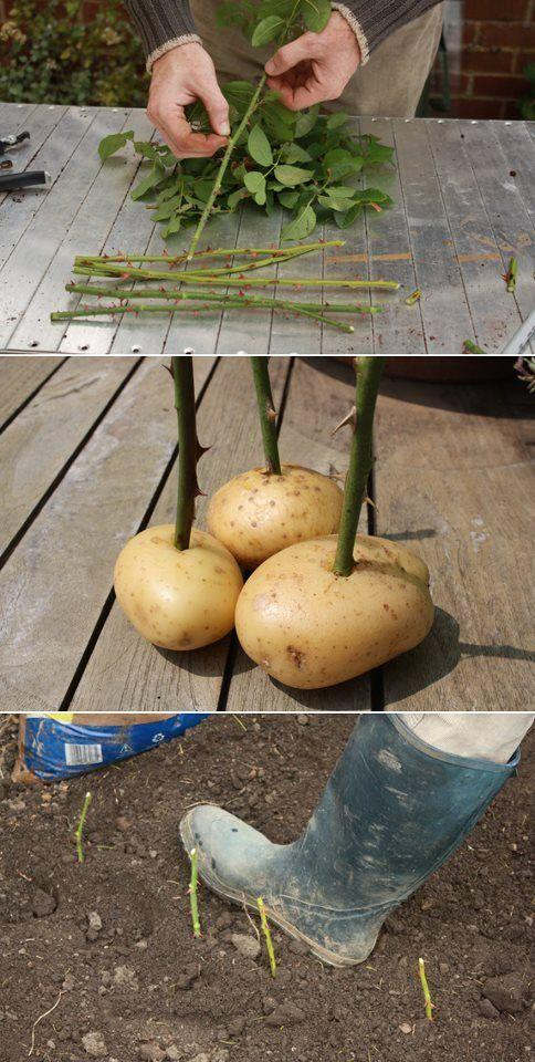 You can keep on enjoying the bouquet of roses you really loved, by cutting the stem, inserting them in a potato and planting them!