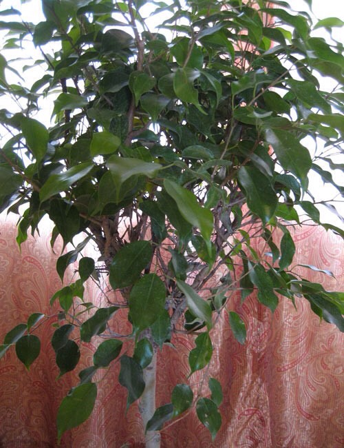 Weeping fig A ficus in your living room can help filter out pollutants that typically accompany carpeting and furniture such as formaldehyde, benzene and trichloroethylene. Caring for a ficus can be tricky, but once you get the watering and light conditions right, they will last a long time.
