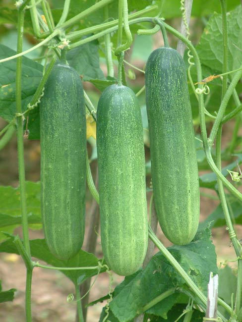 Cool off with yummy cucumbers which also have amazing skin benefits.