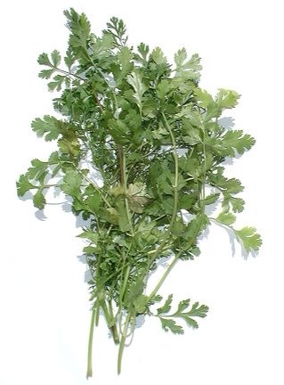 Cilantro  Cilantro is probably my second most used herb (next to basil) that I grow. It is wonderful fresh in salsa and marinades. Cilantro grows best in cooler weather, in full to part sun. Make sure its soil is well drained.