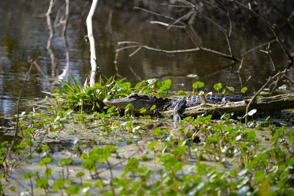The Everglades—this system begins near Orlando with the Kissimmee River and is often called the River of Grass thanks to its extensive sawgrass marshes that culminate in southern Florida.