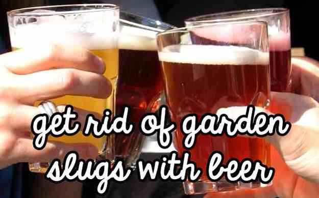 Here's a chemical-free way to get rid of slugs in your garden.