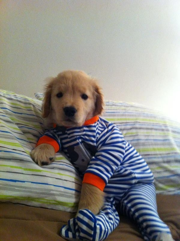 Here's a puppy in pajamas.