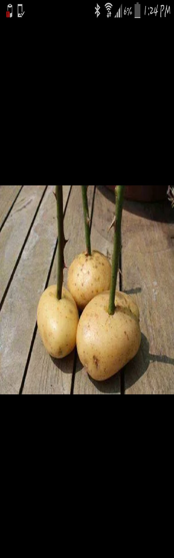push cutting ends into potato. . plant potato into ground... the potato will help the roots grow :)