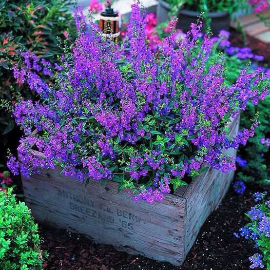 Angelonia -It's easy to grow and flowers profusely, great plant for dry spells and heat. Not fussy about soil either. Butterflies love it!