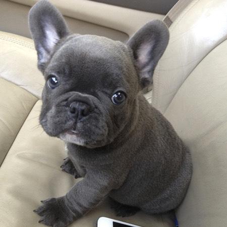 #4 (French Bulldog)