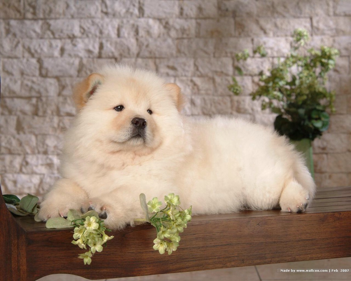 Chow chow dogs are Chinese dogs and very very friendly