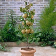 4. Pear Tree. Pear trees can easily be grown in the garden and are fast growing trees which may not only have a good height within a short period of time but also will be able to produce fruit.