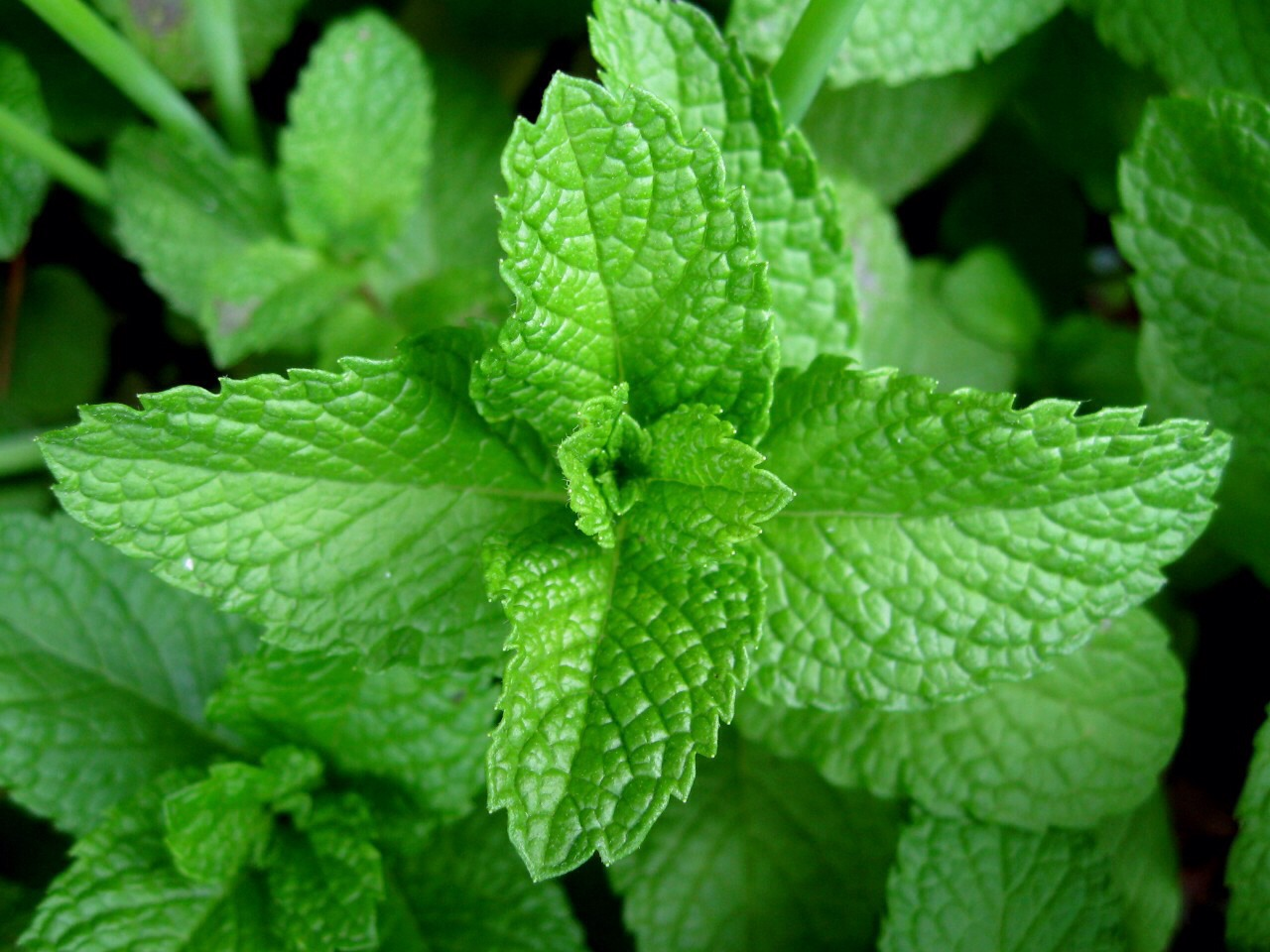 Grind up some mint leaves and place them under your eyes to help get rid of your black circles