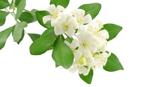 her go to fragrance was jasmine.