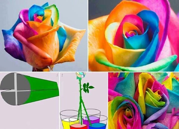 how to get a colorful rose