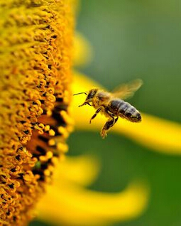 Bee pollen is a food and acts faster and more effectively when taken at mealtime and especially with fruit, which let's it gently perform a little cleansing of the intestinal flora.
