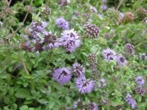 Pennyroyal:  The adorable pennyroyal flower is a natural deterrent for mosquitoes! Make sure to plant some around your flowerbeds!
