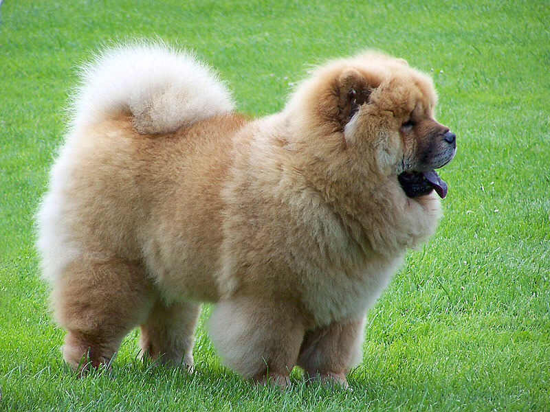 Chow chows are the most fluffy cuddly honest loyal and friendliest dogs ever. Plus they act like guard dogs💕