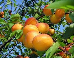 5. Apricot tree. If provided with water, air and sunlight, then apricot tree can grow well and fast in your garden.