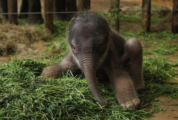 At the age of 16, an elephant can reproduce, but rarely has more than four children throughout her lifetime. At birth, an elephant calf weighs about 230 lbs!