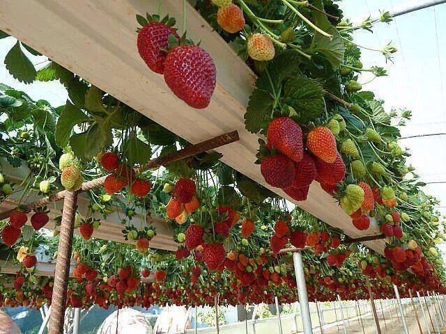Plant strawberries in eaves troughing suspended on pipes and rebar. Then harvest the berries when the are ripe and hanging overhead.
