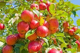 3. Apple Tree. Apple is also one of the fast growing fruit trees and is suitable to be grown in garden. Within a period of two years, the apple tree will start producing fruits