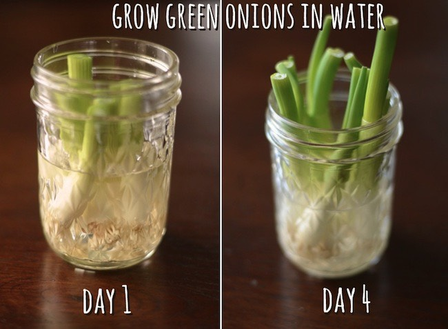 Never buy green onions again. Simply grow in water for a never-ending supply!