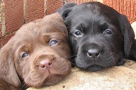 #5 (Labrador Retriever)