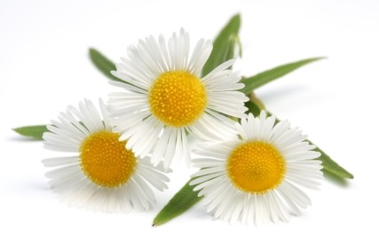 A great choice for people with sensitive skin, Chamomile is a natural skin soother, calming irritations, redness, sunburn, windburn and bruises almost immediately. Chamomile's anti-inflammatory and antiseptic properties make it an ideal choice for people suffering from rosacea or broken capillaries.