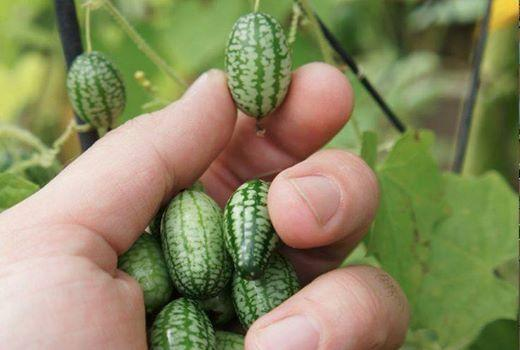 CUCAMELONS: Grape sized cucks that taste of pure cucumber with a tinge of lime.