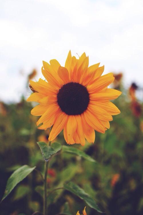 15. Grow sunflowers
