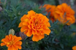 Marigolds:  A bright, hardy annual plant, marigolds are a great choice for repelling mosquitoes.