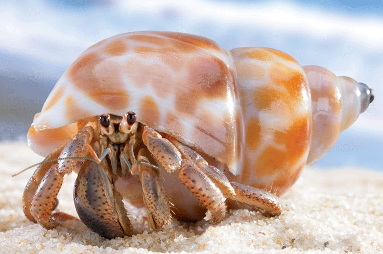 How to Take Care of a Land Hermit Crab So... you want to have a pet land hermit crab? These critters are amazing pets that love to interact with humans. They are friendly, hardy, and cute. Buy a 5-10 gallon fish tank. Allow a lot of room for them to roam around in.