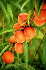 1. Peaches & Nectarines. It takes about 1-3 to start bearing fruit from when they were planted. If you're lucky, you can get fruit in two years if you grow a peach or nectarine FROM A PIT!