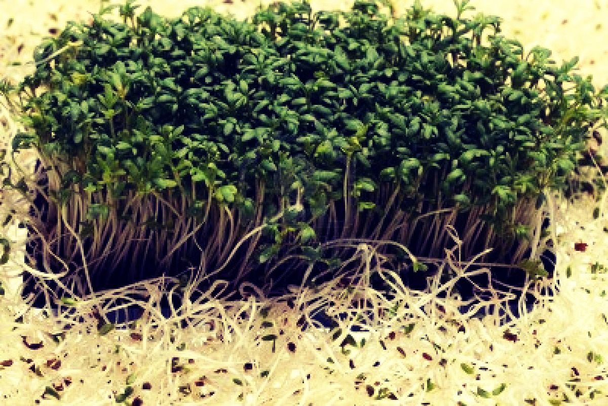 how to clean and store alfalfa sprouts