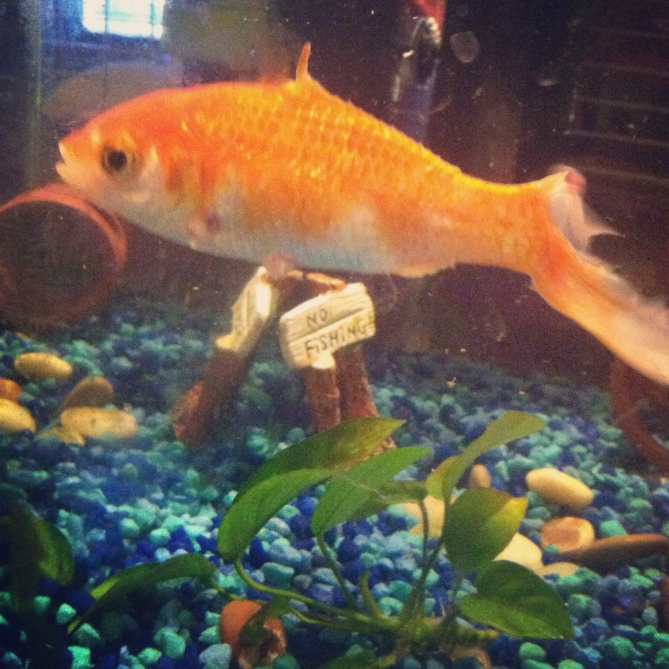This is Finn, my goldfish, named so because he hadno top or side fins. 😋I was never really into goldfish until Finn showed up, he was truly one of a kind! Unfortunately, we lost him last week. Now, I know to most it sounds silly, but he was part of our family and we're still mourning him.