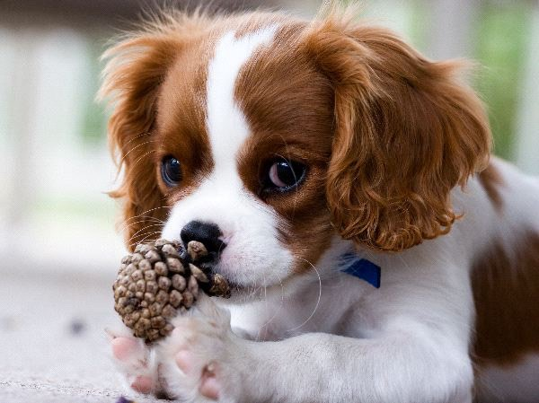 King Charles spaniel- these dogs are the most caring and loyal dogs you will ever meet they have average shedding and refugee exercise to remain healthy along with a strict diet