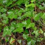 English Ivy (Hedera helix)