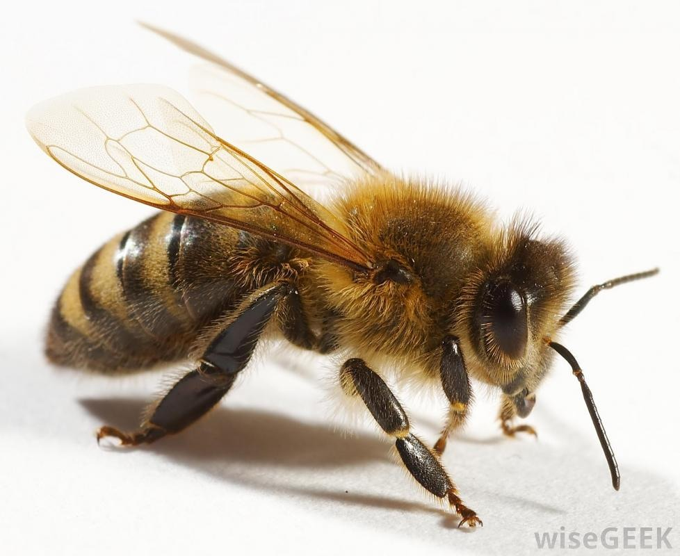 Spray bee with hair spray. The wings will stick together. The bee won't be able to fly. Sweep up and flush down the toilet, throw out the window, or throw away.  Thanks for looking. Please don't forget to like and follow. Click my profile pic to see all my tips.