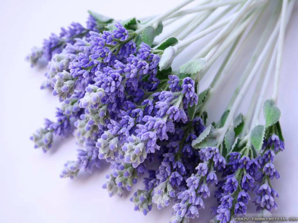 Use Lavender To Cure An Ear Ache Or Infection By Tiahna Morris Musely
