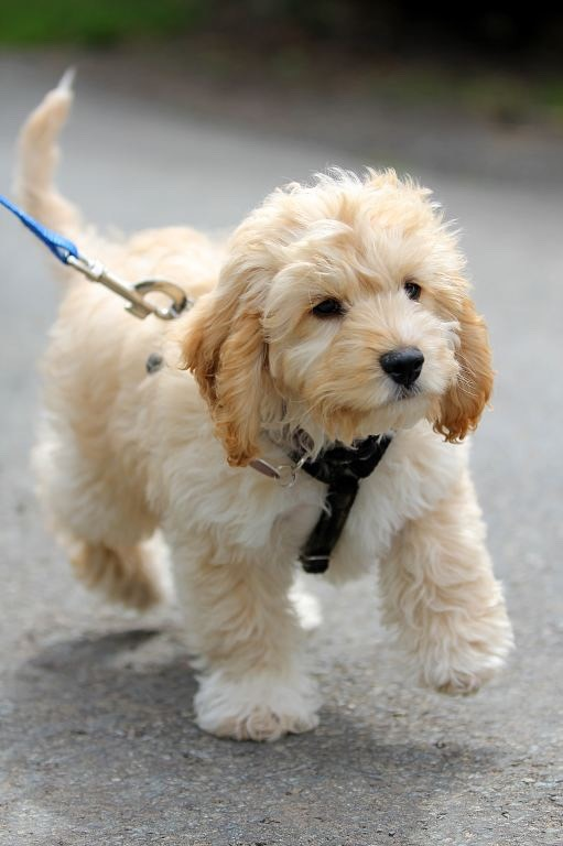 Cockapoo- these dogs have soft curly fur they are loving caring and always want to be by your side they are energetic and just lovely
