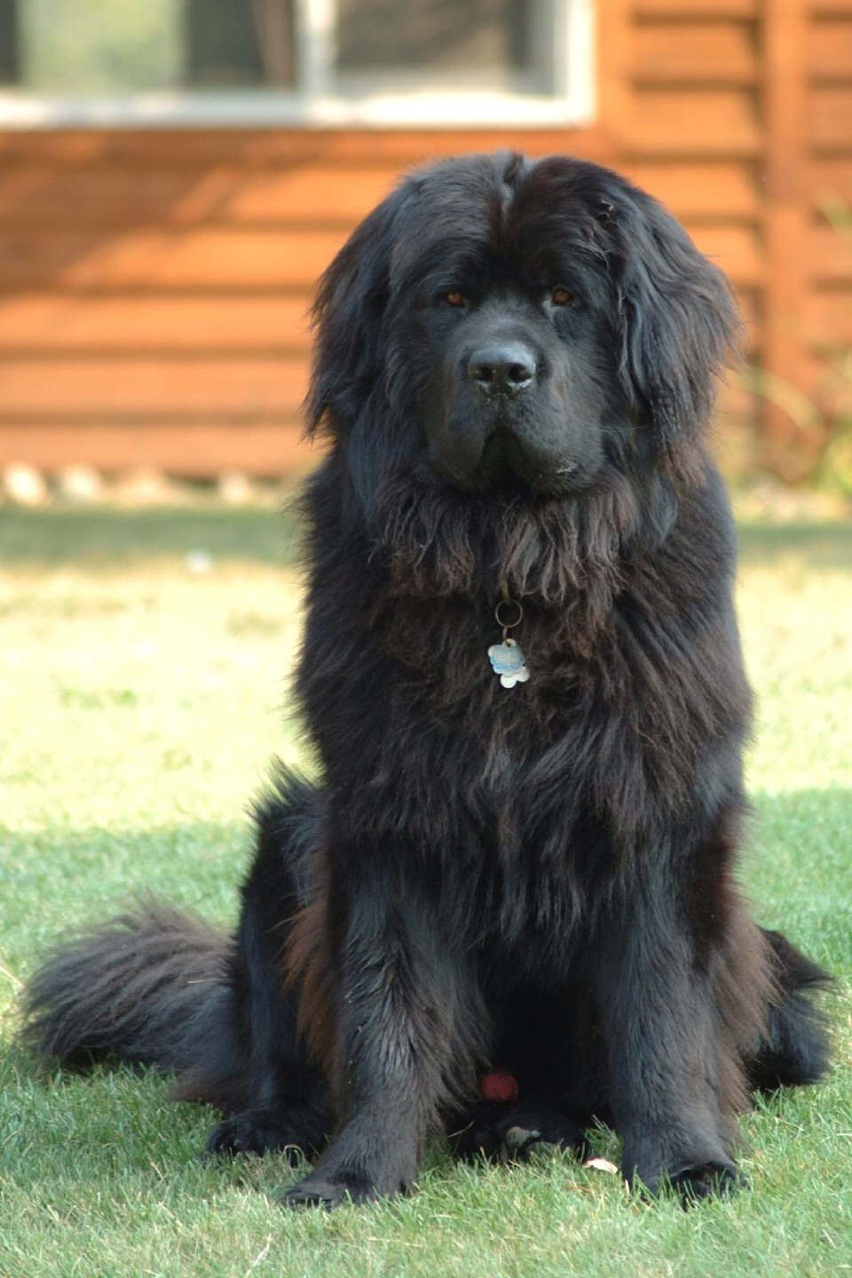 """The Newfoundland: Also know as """"natures baby sitters"""". These dogs will look after children as their own. But there long thick coat make grooming a must. They are protective of family and are gentle giants."""