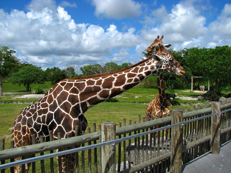 Giraffe fiding time