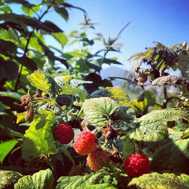 35. Pick berries