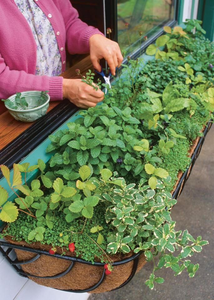 Herbs are a great starter plant to grow indoors, and incredibly useful. Most herbs like to shoot their roots deep, so be sure to plant them in pots at least 8 inches deep. Also prune the herbs that flower to prevent the leaves from getting too bitter.