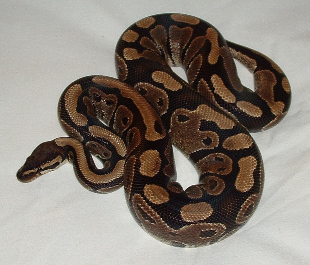 """Ball python: Now. I know what you're thinking. """"why would you ever let a viscous snake around my children!?"""" Well you're wrong. Ball pythons are the best family snake. They're very calm. And if raised by hand, don't bite. They also have very high tolerance. I have one of my own ☺️"""